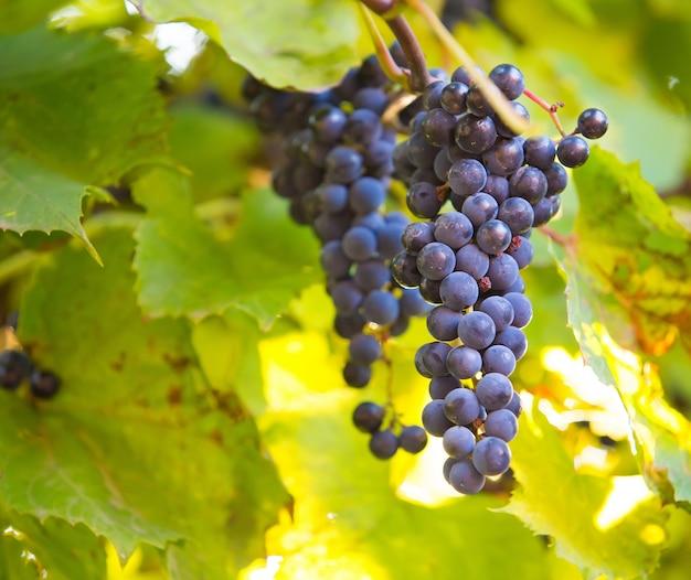 Kiść winogron na winorośli w słońcu