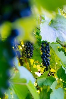 Kiść winogron w ogrodzie niewyraźne