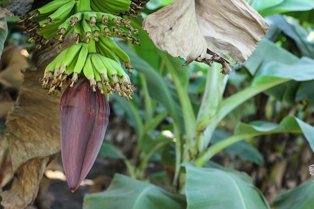 Kiść zielonych bananów na drzewie