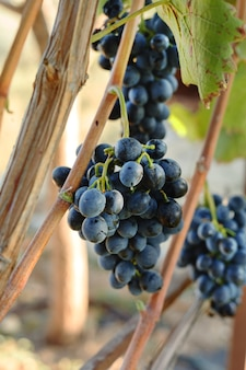 Kiście czarnych winogron w czasie zbioru winogron na żywność lub wino.