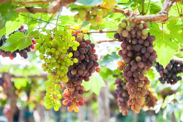 Kiście winogron do wina wiszące na winorośli z zielonymi liśćmi w ogrodzie