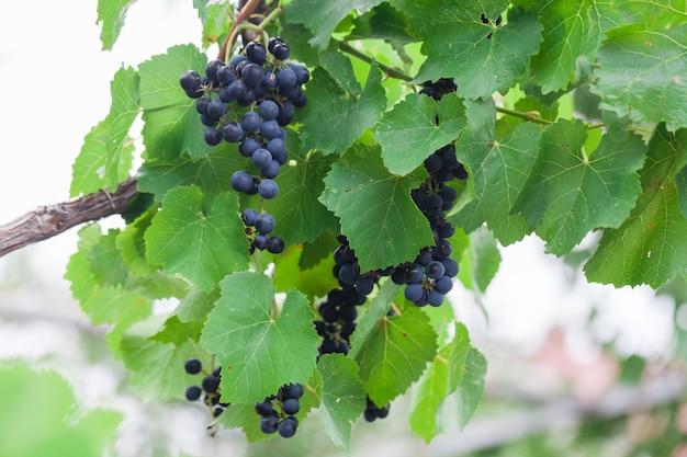 Kiście winogron z zachodem słońca