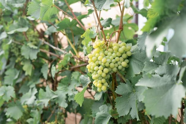 Kiście winorośli wiszące na gałęziach w ogrodzie