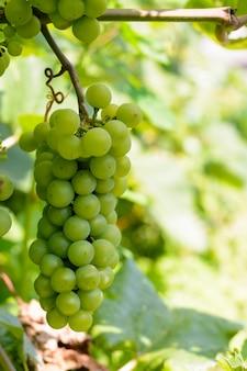 Kiście zielonych winogron