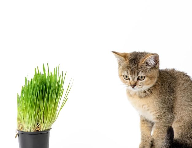 Kitten scottish straight siedzi na białym, obok doniczki z rosnącą zieloną trawą
