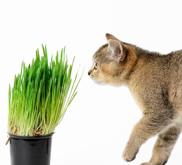 Kitten szynszyla szkocka prosto siedzi na białym tle, z bliska