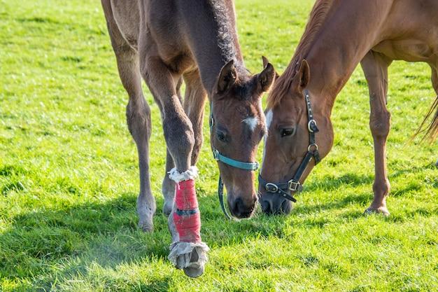 Klacz i jej źrebię na pastwisku. yuong koń z bandażem na jednej nodze. konie na padoku.