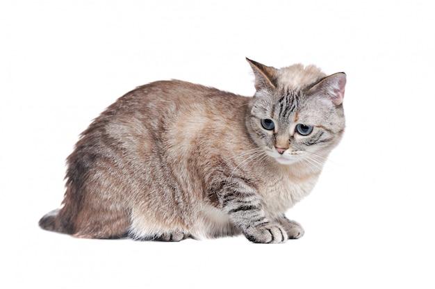 Kłaść tabby kota odizolowywającego na bielu