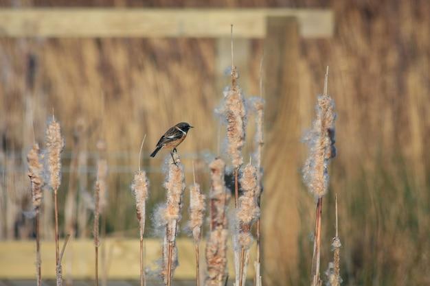 Kląskowiec zwyczajny (saxicola rubicola) siedzący na główce nasiennej sitowia
