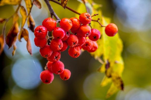 Klaster czerwony jarzębina na drzewie