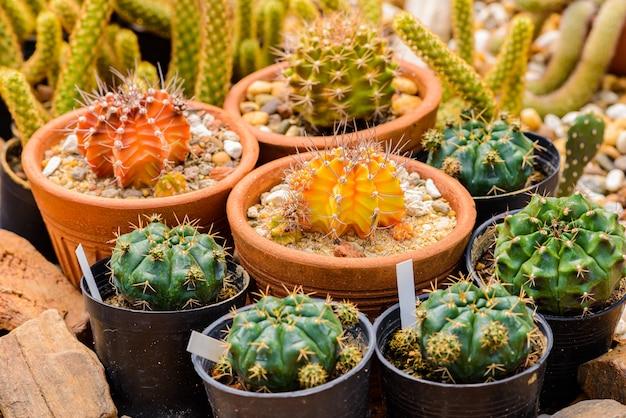 Klaster kaktusowy echinocactus grusonii. znany generał kaktusa