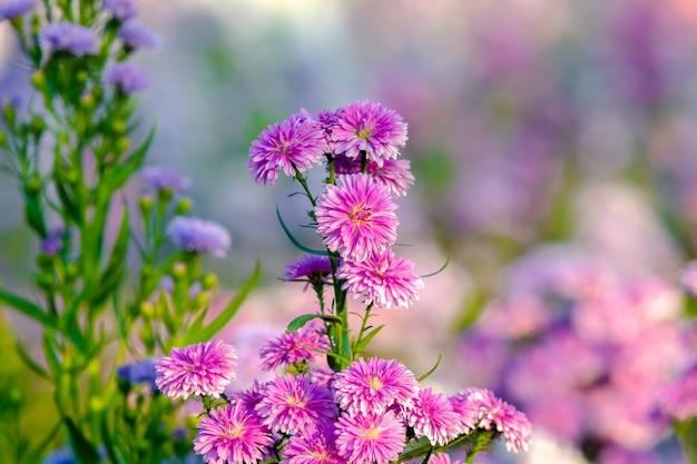 Klaster pospolitych stokrotek lub dzikich kwiatów stokrotek trawnikowych