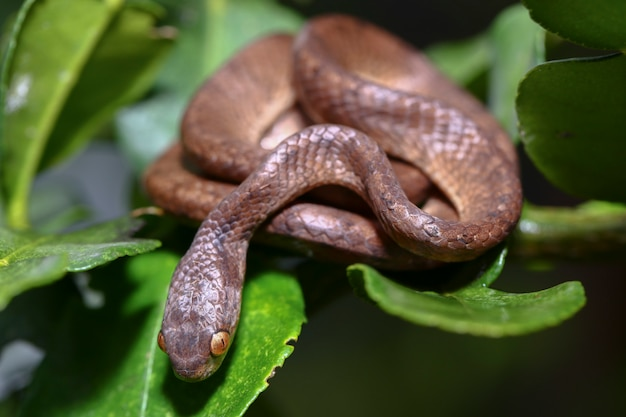 Kłębiony wąż zjadający ślimaki