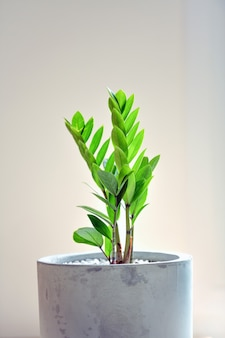 Klejnot zanzibaru to ozdobne drzewo, które można sadzić w domu