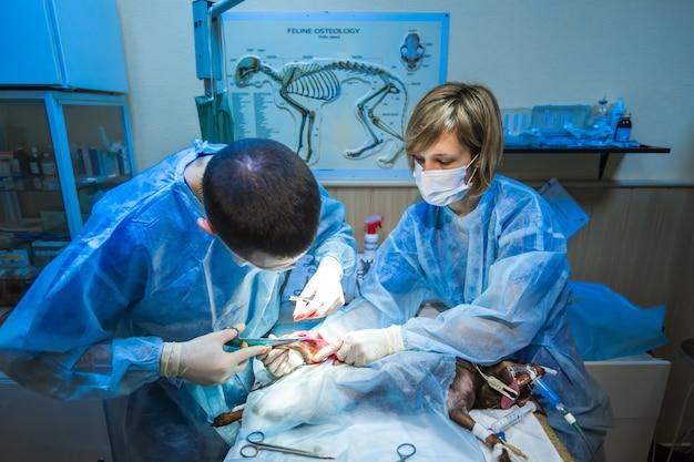 Klinika weterynaryjna. łapy psa chirurgicznego. lekarz zaszywa nogę psa.