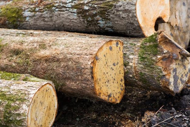 Kłody bukowe, park narodowy, tarcica leśna. materiał drzewny