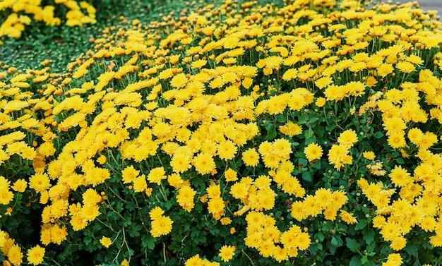 Klomb z żółtych chryzantem