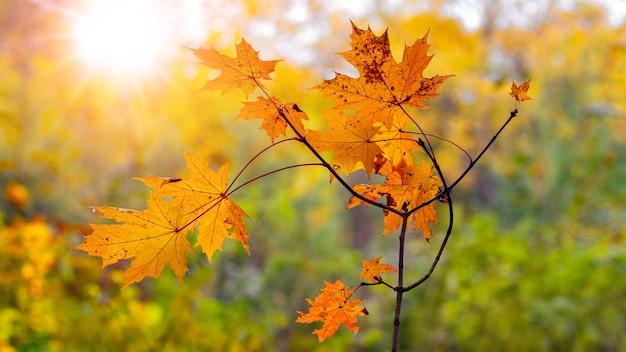 Klon gałąź z pomarańczowymi liśćmi na drzewie przed słońcem. jesienne tło