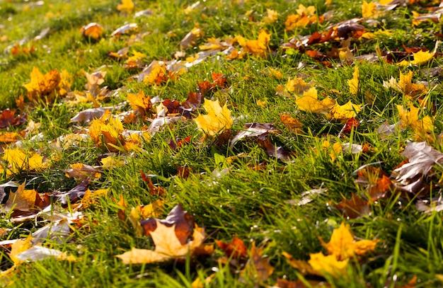 Klon jesienią