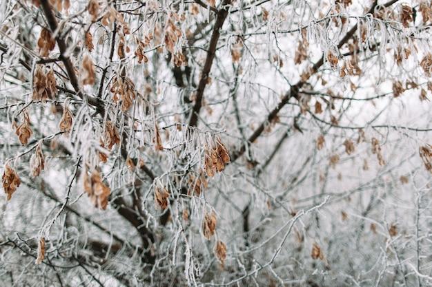 Klon w mroźny zimowy dzień. jesienne zbiory klonu pokryte śniegiem. zimno, wczesne przymrozki, koncepcja szronu