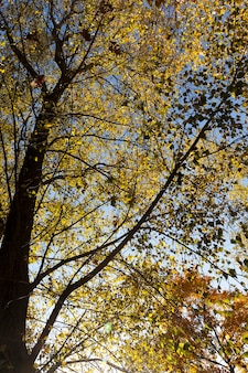 Klon w sezonie jesiennym, gałęzie pożółkłe i liście żółte