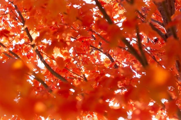 Klon z czerwonymi liśćmi pod słońcem jesienią z rozmytym tłem