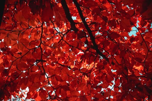 Klon z pomarańczowymi liśćmi jesienią