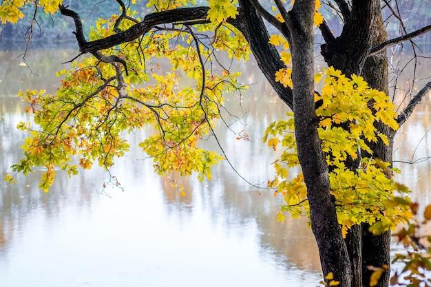 Klon z żółtymi liśćmi i wodą rzeki