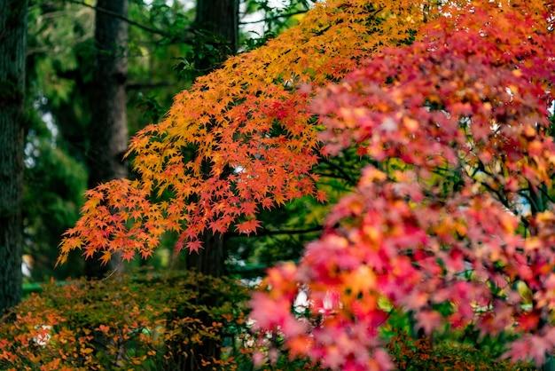 Klon zmienia kolor na sezonowy w listopadzie, a liście są podświetlane