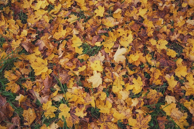 Klon żółte opadłe liście jesienią