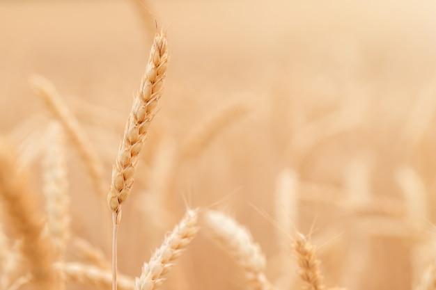 Kłos dojrzałej pszenicy na tle pola