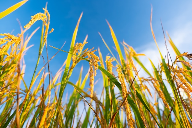 Kłos ryżu na polu. złote kłosy ryżu z punktu widzenia mrówek.