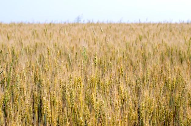 Kłoski dojrzewającej pszenicy w polu z bliska w lecie