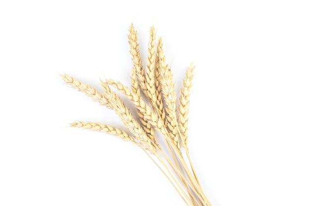 Kłoski pszenicy na białym tle