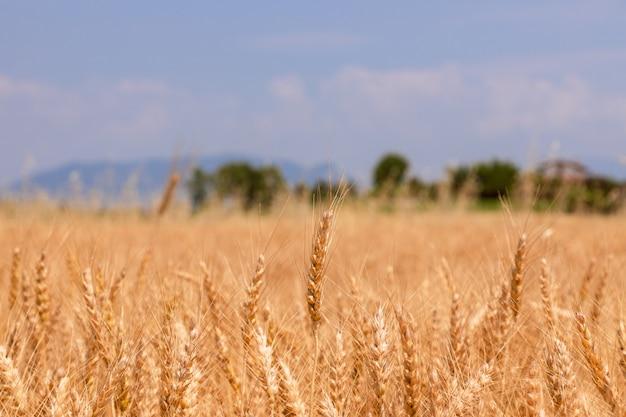 Kłoski pszenicy na polu pod błękitnym niebem (rozmycie, selektywne fokus) na północ od włoch