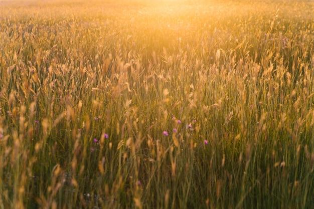 Kłoski w polu na zachodzącym słońcu. piękny widok i blask słońca. naturalne tło i tekstura.