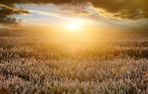 Kłosy dojrzałej pszenicy na tle słońca wieczorem