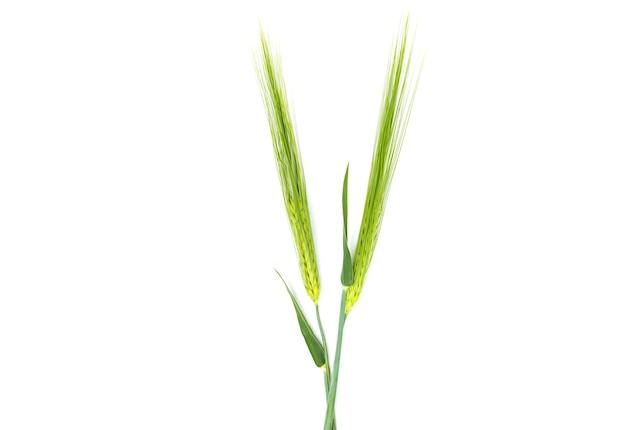 Kłosy pszenicy na białym tle na białym tle