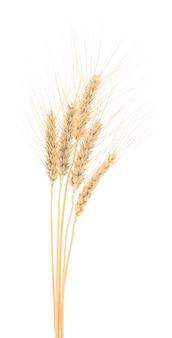 Kłosy pszenicy na białym tle