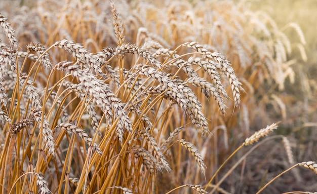 Kłosy pszenicy na polu rolnika podczas żniwa