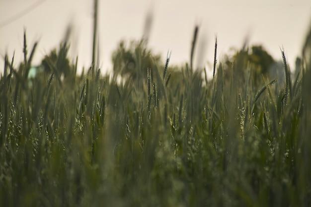 Kłosy pszenicy na polu uprawy, rolnictwo we włoszech.