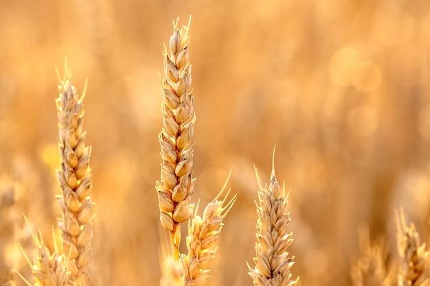 Kłosy pszenicy na polu z bliska w złotych odcieniach
