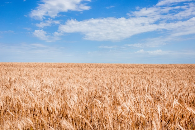 Kłosy pszenicy na polu