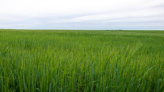 Kłosy pszenicy rosnące w gospodarstwie rolnym w słoneczny dzień koncepcja zdrowego odżywiania
