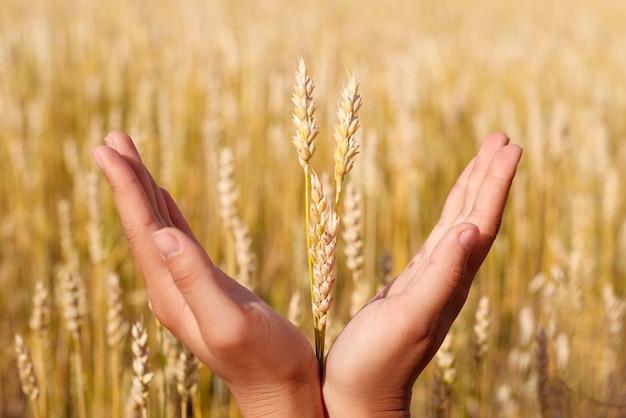 Kłosy pszenicy w rękach. koncepcja zbiorów