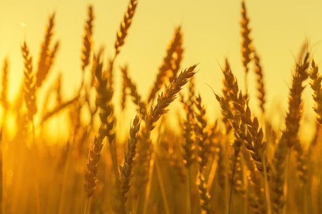 Kłosy pszenicy w zachodzie słońca