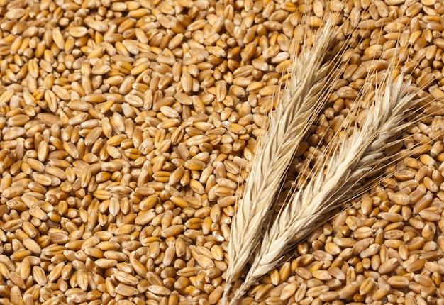 Kłosy pszenicy z nasionami