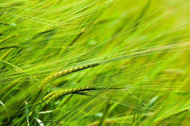 Kłosy zielonej niedojrzałej pszenicy z bliska