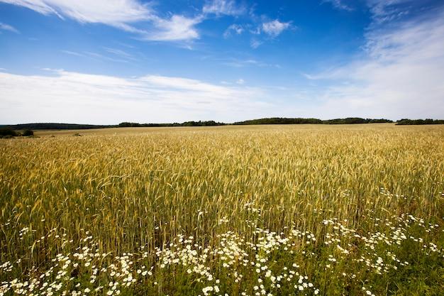 Kłosy żyta złotego koloru rosnącego w polu. dojrzałe żyto