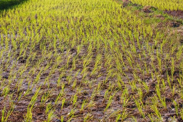 Kłucie kiełków ryżu w sadzonkach błota ryżowego z tłem natury